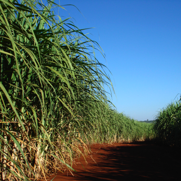 Local Cane For New Rum