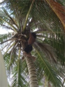 Pulling coconuts